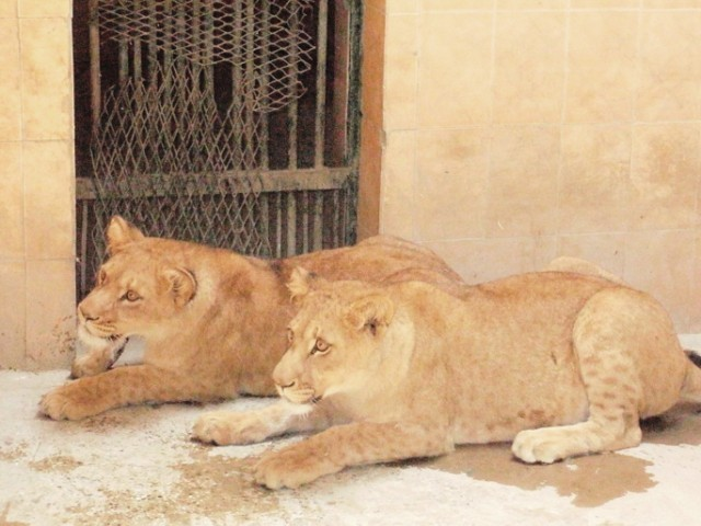 Two cubs were born at the zoo last year. The 'Sher Bagh' was established in 1942 by the Nawab of Bahawalpur.  PHOTO: EXPRESS/ KASHIF ZAFAR