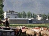 A Pakistani shepherd herds his goats past the hideout of Al-Qaeda leader Osama bin Laden, who was killed by US Special Forces in a ground operation early May 2, in Abbottabad on May 4, 2011. PHOTO: AFP