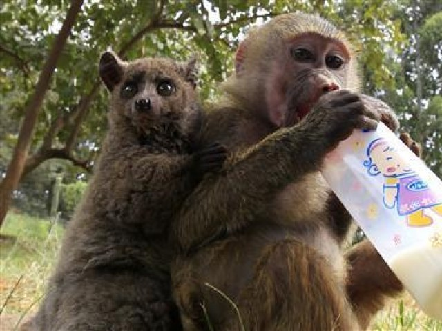 A seven-months-old yellow baboon (Papio cynocephalus) drinks milk as it plays with a Galagos (L) also known as a bushbaby at the Animal Orphanage in the Kenya Wildlife Service (KWS) headquarters in Nairobi, June 10, 2011. PHOTO: REUTERS