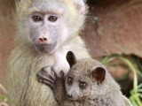 A seven-months-old yellow baboon (Papio cynocephalus) carries a Galagos also known as a bushbaby at the Animal Orphanage in the Kenya Wildlife Service (KWS) headquarters in Nairobi. PHOTO: REUTERS