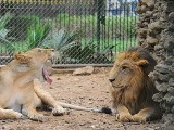 lion-photo-jalal-qureshi-express-2