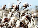 cotton-photo-file-4