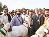 Jhulay Lal, Don and Daku Rani win  on Friday; UAF goat show starts.