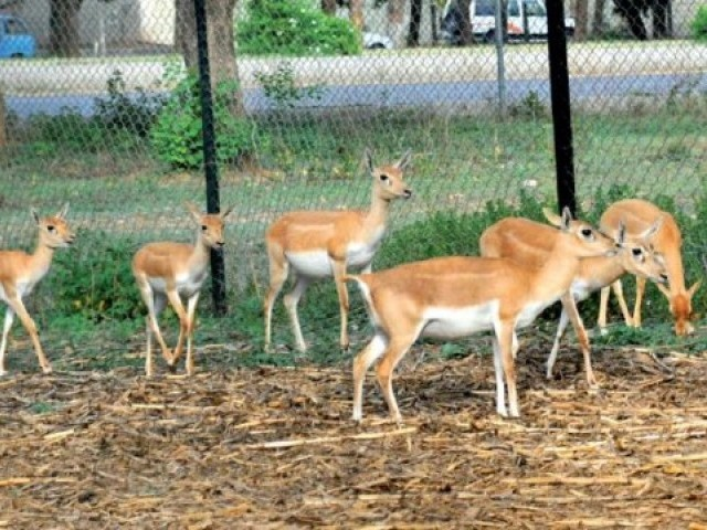 On Thursday, December 22, four people including Athar Khaskheli and Saleem Khaskheli were caught hunting a deer by people from the Tejamal village in Nangarparkar.