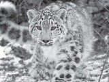 leopard-photo-file-2-3-2