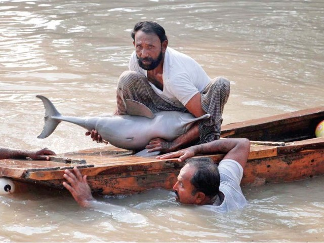 In this file photo taken on December 28, wildlife workers remove an Indus Blind Dolphin from the Khairpur Canal where it got stuck. They released it at Landsdowne bridge. PHOTO: FILE