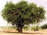 (Top) Laying down their lives: The Khejri tree is firmly embedded in the mythology of Rajasthan. (Right) Sins of the fathers: Both father and daughter suffer from silicosis, an incurable lung condition. (Bottom) The King of the Desert: The Khejri tree.