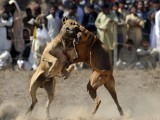 dog-fight-afp