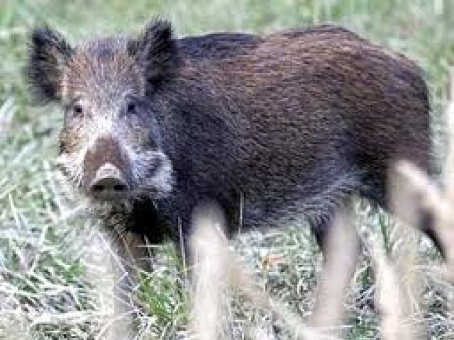 According to the locals, hoards of wild boars roam freely in the forests in the area, making mobility difficult. PHOTO: AFP