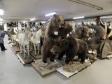Mounted animals are stored in the attic of the Naturhistorisches Museum Wien (Museum of Natural History) in central Vienna April 18, 2012. PHOTO: REUTERS