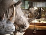 Historic mounted rhinos are displayed in an exhibition hall of the Naturhistorisches Museum Wien (Museum of Natural History) in central Vienna April 3, 2012. PHOTO: REUTERS