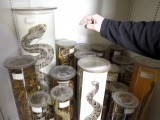 Preserved snakes are stored in a laboratory of the Naturhistorisches Museum Wien (Museum of Natural History) in central Vienna April 3, 2012. The museum, which first opened in 1889, today consists of 39 exhibition halls with thousands of objects on display and some 25 million specimens and artefacts kept behind the scenes for scientific work for more than 60 staff scientists. It is one of the largest museums of its kind and one of the most important in Europe. Picture taken April 3. PHOTO: REUTERS