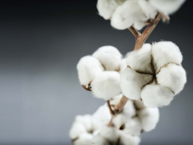 If the cotton cultivation area falls, local industry may suffer greatly. DESIGN: CREATIVE COMMONS