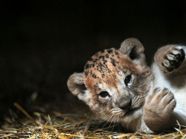 The park's administration said that the cubs, who were just a week old, were in bad health condition since birth. PHOTO: AFP/FILE