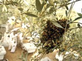 Bees take pollen from flowers on a tree as Palestinian beekeepers inspect hives at an apiary near the central Gaza Strip refugee camp of Bureij. PHOTO: AFP