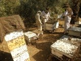 Palestinian beekeepers inspect hives at an apiary near the central Gaza Strip refugee camp of Bureij. PHOTO: AFP
