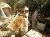 Palestinian beekeepers inspect hives at an apiary near the central Gaza Strip refugee camp of Bureij on April 26, 2012. PHOTO: AFP