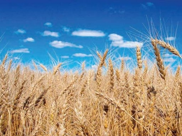 Farmers fear damage to crop, drop in per acre yield.