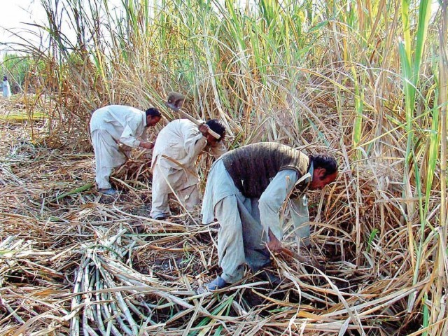 Allowing millers to export surplus sugar will help stabilise and sustain prices at present levels, while also enabling them to pay growers outstanding dues worth Rs30 billion. PHOTO: FILE