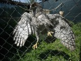 An eagle hangs on the fence of a cage in Zapresic May 3, 2012. The AWAP Wildlife sanctuary near Zagreb has been struggling for a decade to get by on meagre government funding, and all the workers are unpaid volunteers who nurse wounded animals back to health. Picture taken May 3, 2012. PHOTO: REUTERS