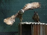 An owl flies in their enclosure at the AWAP Wildlife Sanctuary in Zapresic May 3, 2012. PHOTO: REUTERS