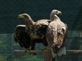 An eagle looks out from its enclosure at the AWAP Wildlife Sanctuary in Zapresic May 3, 2012. PHOTO: REUTERS
