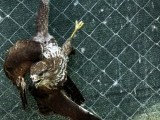 An eagle hangs on the fence of its enclosure at the AWAP Wildlife Sanctuary in Zapresic May 3, 2012. PHOTO: REUTERS