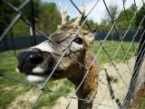 A roe deer looks out from its cage in Zapresic May 3, 2012. PHOTO: REUTERS