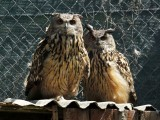 Owls perch inside its cage at the AWAP Wildlife Sanctuary in Zapresic May 3, 2012. PHOTO: REUTERS