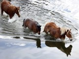 Horses walk across a river during Montana Horses' annual horse drive outside Three Forks, Montana, May 4, 2012. PHOTO: REUTERS