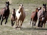 Horses run to the corrals during Montana Horses' annual horse drive outside Three Forks, Montana, May 4, 2012. PHOTO: REUTERS
