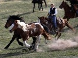 Renee Mantle chases a group of horses during Montana Horses' annual horse drive outside Three Forks, Montana, May 4, 2012.  PHOTO: REUTERS