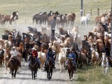 Wranglers drive a herd of horses during Montana Horses' annual horse drive outside Three Forks, Montana, May 5, 2012. PHOTO: REUTERS