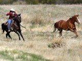 Renee Mantle chases a horse trying to break away during Montana Horses' annual horse drive outside Three Forks, Montana, May 6, 2012. PHOTO: REUTERS