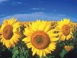 sunflower-photo-file-2
