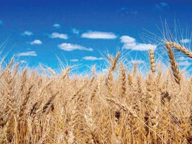 Government had procured 1.29 million metric tons of wheat out of the target of 1.3 million metric tons.