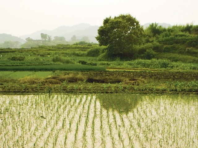 The province produced 2.6 million tons of basmati rice in 2009-10, which dropped to 1.88 million tons in fiscal 2012. PHOTO: FILE