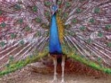 peacocks-photo-express