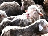 sheep-afp-2