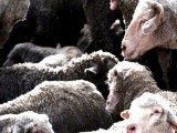 sheep-afp-2-3-2