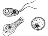 naegleria-fowleri-photo-wikipedia