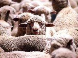 sheeps-photo-file-2-2-2-3