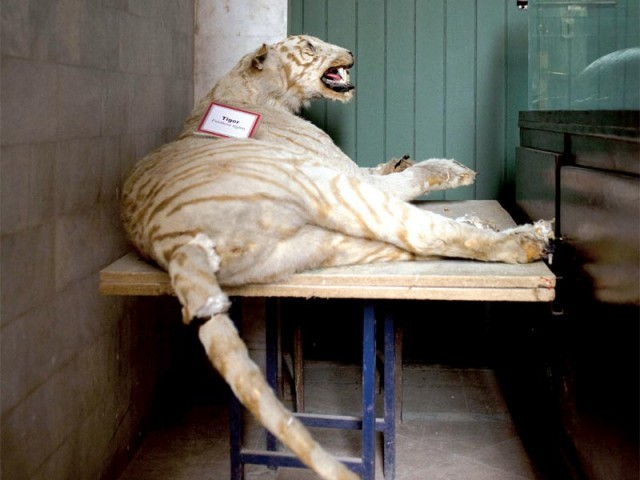 The tiger whose tail is now ripped (left); the PMNH receives few visitors due to basic exhibits. PHOTO: MYRA IQBAL/EXPRESS