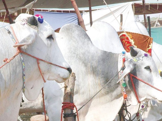 This file photo shows an animal trader fastening sacrificial animals in Karachi's largest cattle market along Super Highway ahead of Eidul Azha. Sindh Livestock secretary Abid Ali Shah informed the government on Monday that the province is home to 7.34 million buffaloes and 15.57 million goats.