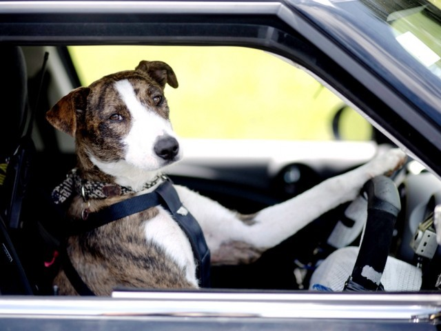 Rather than chasing cars, dogs in New Zealand are being taught to drive them. PHOTO: AFP