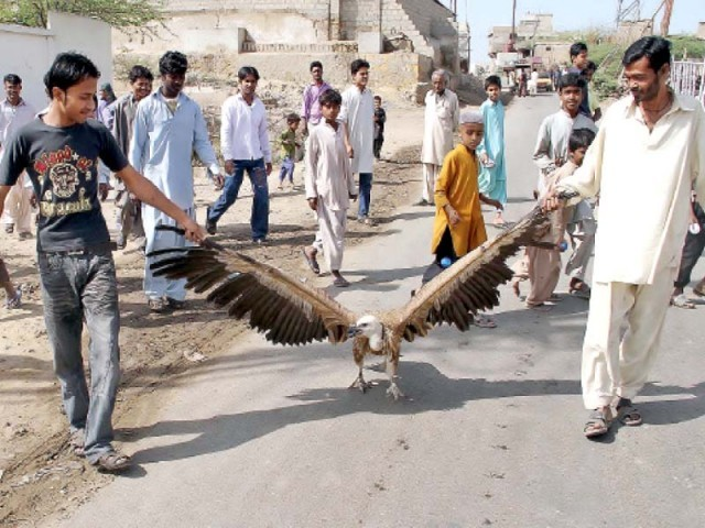 The rotting carcasses of vultures pollute ground water, said IUCN experts at a meeting. The experts were concerned that the population of vultures has gone down from 100 million to only 20,000 in 20 years. PHOTO: FILE