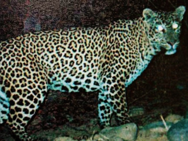 File photo of a common leopard caught by a trap camera in 2007 at the Ayubia National Park. PHOTO: COURTESY WWF