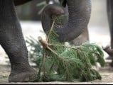 An elephant drops a Christmas tree branch on January 4, 2013 at the Zoologischer Garten zoo in Berlin. PHOTO: AFP