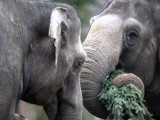 Two elephants enjoy some Christmas trees on January 4, 2013 at the Zoologischer Garten zoo in Berlin. Traditionally, elephants at the Berlin zoo are given for food the trees that were left over from Christmas tree sale during the first days of January. PHOTO: AFP