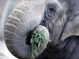 An elephant enjoys a Christmas tree on January 4, 2013 at the Zoologischer Garten zoo in Berlin. Traditionally, elephants at the Berlin zoo are given for food the trees that were left over from Christmas tree sale during the first days of January. PHOTO: AFP